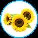 Helianthus annuus-
