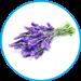Lavendula-angustifolia