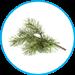 Pinus-звичайна